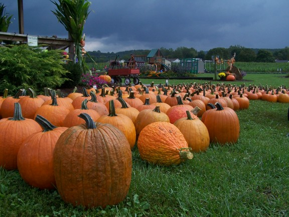 The pumpkins of Brookedale Farms, Fort Ashby, W.Va.